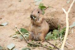 Prairiehond die blad eet Stock Afbeeldingen