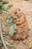 Prairiehond die blad eet Stock Afbeelding