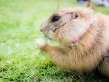 Prairiehond die een blad van gras eten Royalty-vrije Stock Foto's