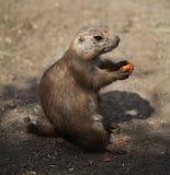 Prairiehond die een wortel eet royalty-vrije stock foto
