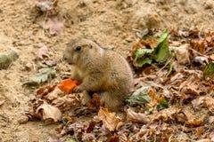 Prairiehond die een wortel eet royalty-vrije stock fotografie