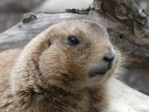 Prairiehond die met zwarte staart een blik hebben rond stock foto's
