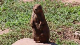 Prairiehond die zich op een rots bevinden stock footage