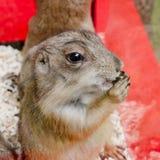 Prairiehond die zich rechtop bevindt Royalty-vrije Stock Afbeeldingen