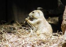 Prairiehond het eten Royalty-vrije Stock Afbeelding