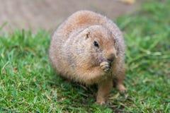 Prairiehond in het knagen aan royalty-vrije stock foto