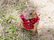 Prairiehond met rood overhemd en halsband die zich rechtop bevinden Stock Fotografie
