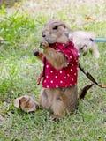 Prairiehond met rood overhemd en halsband die zich rechtop bevinden Royalty-vrije Stock Foto