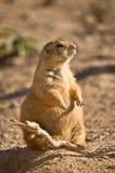 Prairiehond met zwarte staart #2 Stock Fotografie