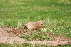 Prairiehond met zwarte staart Royalty-vrije Stock Foto's