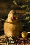 Prairiehond met zwarte staart Royalty-vrije Stock Foto
