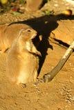 Prairiehond met zwarte staart Royalty-vrije Stock Afbeeldingen