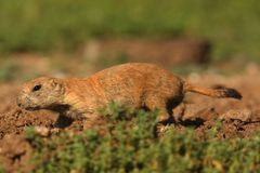Prairiehond met zwarte staart (ludovicianus Cynomys) Stock Foto's
