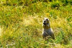 Prairiehond op een groen gebied stock foto