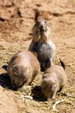 Prairiehonden stock foto
