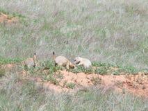 Prairiehonden Stock Afbeeldingen