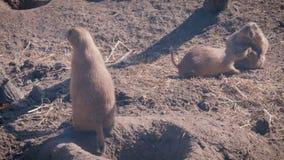 Prairiehonden bij een holingang stock footage