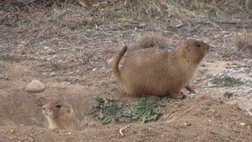 Prairiehonden bij Hol