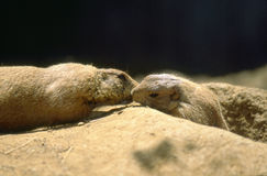 Prairiehonden met zwarte staart (ludovicianus Cynomys) Stock Foto
