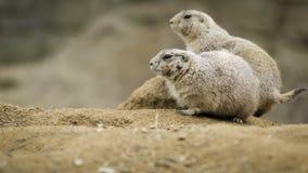 Prairiehonden op het zand Stock Foto's