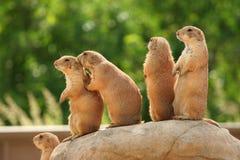 Prairiehonden op rots Royalty-vrije Stock Afbeeldingen