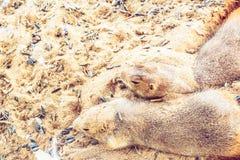 Prairiehondslaap op zand Royalty-vrije Stock Afbeelding