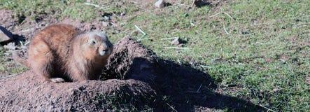 Prairiemarmot die met zwarte staart een gat graven royalty-vrije stock afbeeldingen