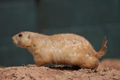 Prairiemarmot met zwarte staart - Cynomys-ludovicianus Royalty-vrije Stock Foto