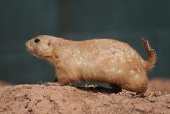 Prairiemarmot met zwarte staart - Cynomys-ludovicianus Royalty-vrije Stock Foto's