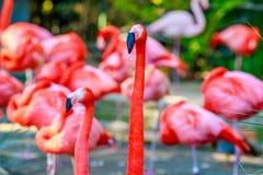 Prakt av flamingo Royaltyfria Bilder