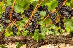 Prall - Pinot Noir-Trauben stockfotografie