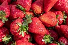 Prall, wählte Hand Erdbeeren vom Gemüsegarten aus; Bauernhofleben Beschneidungspfad eingeschlossen stockfoto