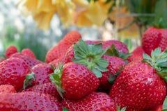Prall, w?hlte Hand Erdbeeren vom Gem?segarten aus; Bauernhofleben lizenzfreies stockfoto