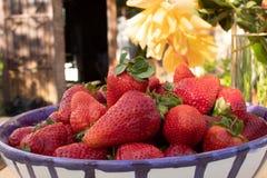 Prall, w?hlte Hand Erdbeeren vom Gem?segarten aus; Bauernhofleben lizenzfreie stockfotos