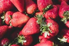 Prall, w?hlte Hand Erdbeeren vom Gem?segarten aus; Bauernhofleben Beschneidungspfad eingeschlossen stockfotos