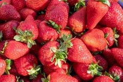 Prall, w?hlte Hand Erdbeeren vom Gem?segarten aus; Bauernhofleben Beschneidungspfad eingeschlossen lizenzfreie stockbilder