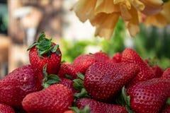 Prall, w?hlte Hand Erdbeeren vom Gem?segarten aus; Bauernhofleben gelbe Rosen im Hintergrund lizenzfreies stockbild