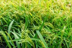Praller Paddy der goldenen Ernte des Reisungeschälten Reises Stockfoto