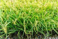 Praller Paddy der goldenen Ernte des Reisungeschälten Reises Lizenzfreie Stockfotos