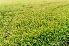 Praller Paddy der goldenen Ernte des Reisungeschälten Reises Stockfotografie