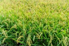Praller Paddy der goldenen Ernte des Reisungeschälten Reises Lizenzfreie Stockfotografie