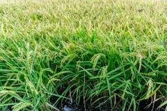 Praller Paddy der goldenen Ernte des Reisungeschälten Reises Lizenzfreie Stockbilder