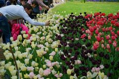 Some people admire and photograph tulips. Pralormo Piedmont Italy At the Castello di Pralormo, in the province of Turin, the usual event called `Messer Tulipano stock image