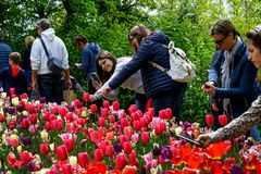 Some people admire and photograph tulips. Pralormo Piedmont Italy At the Castello di Pralormo, in the province of Turin, the usual event called `Messer Tulipano stock images