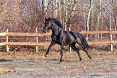 Prancing black stallion Stock Images