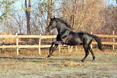 Prancing black stallion Stock Photo