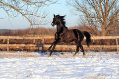 Prancing black stallion Stock Photos