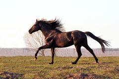 Prancing black stallion Stock Image
