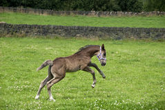 Prancing Foal Stock Photos