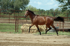 Prancing Horse. Bay thoroughbred,OTTB, galloping freely outdoors Royalty Free Stock Photography